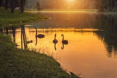Sunrise in early morning at pang ung lake with swans Cygnus atratus couple swiming in the water Stock Photography