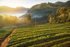 Sunrise in early morning on rows of green terraced strawberry plantation at Ban Nor Lae village Doi Ang khang Chian royalty free stock photo