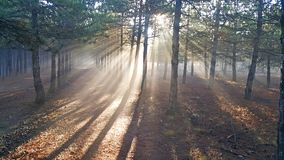 Sunrise in Evergreen Forest. With light beams royalty free stock photography