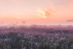 Sunrise field of blooming pink meadow flowers Royalty Free Stock Images