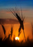 Sunrise in the field of grain Royalty Free Stock Photography