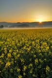 Sunrise on field with oilseed rape Royalty Free Stock Image