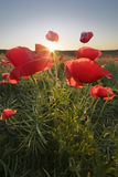 Sunrise field with poppies Stock Images