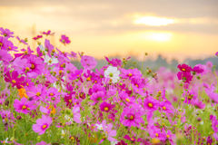 Sunrise at a field of purple flower Royalty Free Stock Image