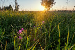 Sunrise field. Summertime Royalty Free Stock Photography