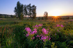Sunrise in field with violet flowers Stock Image