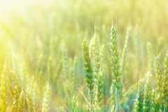 Sunrise in a field of wheat Stock Images