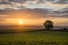 Sunrise in the fields, Cornwall, uk. Cloudy sunrise in the fields, with rape seed in foreground and tree in background, cornwall, uk Stock Photo