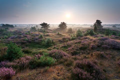 Sunrise and flowering heather on dunes Stock Images