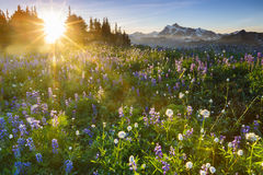 Sunrise with flowers. Sunrise over a valley of beautiful flowers Stock Image