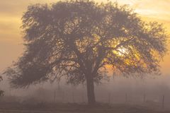 Sunrise with fog and in the foreground a carob tree stock photo