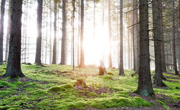Sunrise in a foggy forest. With a lot of green moss Stock Photo