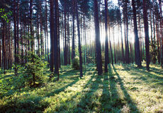 Sunrise in the forest Royalty Free Stock Photography