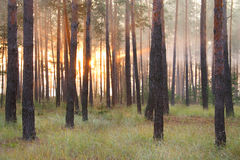Sunrise at the forest Royalty Free Stock Photos