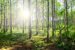 Sunrise in forest Stock Photography