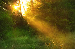 Sunrise in the forest. The sun shining through the branches in forest Royalty Free Stock Photos