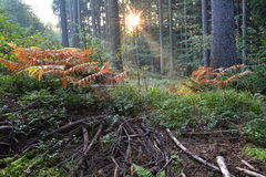Sunrise in the forest. Beautiful morning rays of the sun in the forest Stock Photo