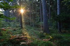 Sunrise in the forest. Beautiful morning rays of the sun in the forest Royalty Free Stock Photos