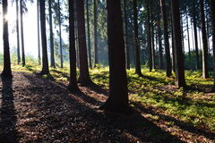 Sunrise in the forest. Beautiful morning rays of the sun in the forest Stock Photos