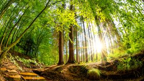Sunrise in a forest with brook stock images
