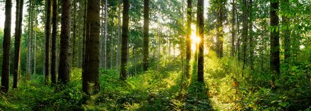 Sunrise in the forest royalty free stock photos