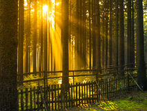 Sunrise in the forest. Sun rays shining through trees and morning mist Stock Image