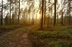 Sunrise through forest trees