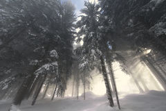 Sunrise in the forest in the winter. Stock Image