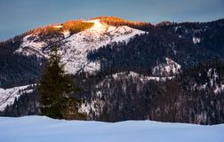 Sunrise in forested winter mountains. Beautiful scenery with spruce tree on a snowy slope Royalty Free Stock Photography