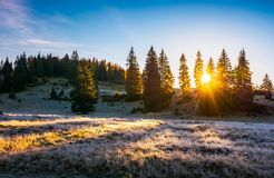 Sunrise in the forests of Apuseni Natural Park. Gorgeous autumn scenery among the spruce trees on the grassy hillside meadow in dew. beautiful landscape in royalty free stock photo
