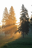 Sunrise in fur-tree forest Royalty Free Stock Photography