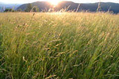 Sunrise on gold grass field Stock Photo