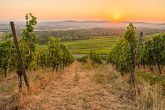 Sunrise with grapes in a vineyard Stock Photo