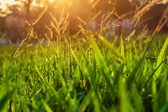 Sunrise grass Stock Photos