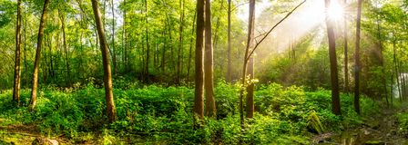 Sunrise in a green forest with brook royalty free stock photo
