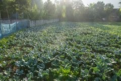 Sunrise with green vegetable garden in Pua. The  northern of Thailand Stock Photo