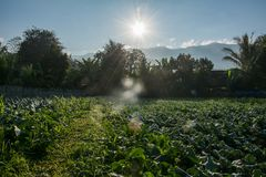 Sunrise with green vegetable garden in Pua. The  northern of Thailand Stock Photography
