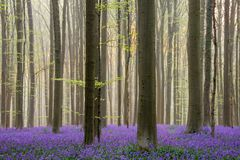 Sunrise in Hallerbos. The well known forest with blue bells from Belgium royalty free stock image