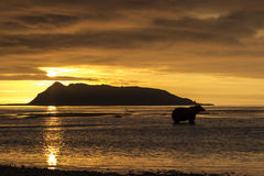 Sunrise and Grizzly bear at Hallo Bay. Royalty Free Stock Photo