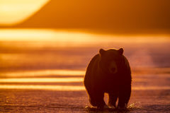 Sunrise and Grizzly at Hallo Bay. Sunrise at Hallo Bay.  A Grizzly bear is strolling in the shallow, low tide, water hunting Salmons. Photo taken on August Royalty Free Stock Photography