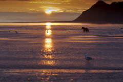 Sunrise and Grizzly at Hallo Bay. Sunrise at Hallo Bay and a Grizzly bear is strolling in the shallow, low tide, water hunting Salmons. Photo taken on August Royalty Free Stock Images