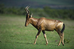 Sunrise Hartebeest Stock Photo