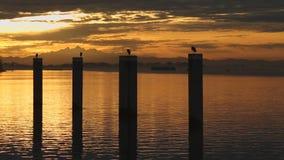 Sunrise Herons on Pilings, Vancouver stock footage