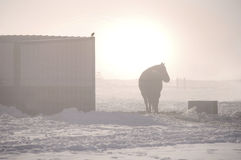 Sunrise with a horse. Horse and bird enjoying the sunrise standing next to barn on a cold winter day in the snow with fog Stock Photos