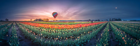 Sunrise, hot air balloon and moon over the tulip field Royalty Free Stock Photos