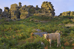 Sunrise on Hound Tor. Early Morning Sun on Hound Tor, Dartmoor, Devon Stock Photography