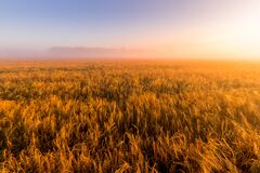 Free Sunrise In An Agricultural Field With Fog And Golden Rye Covered With Dew On An Early Summer Morning Royalty Free Stock Photo - 192810235