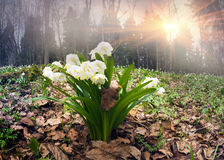 Sunrise In The Forest With Snowdrops Stock Photos