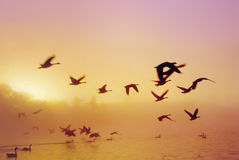 Sunrise Lake D. Beautiful gold and pink sunrise through the mist and trees to a lake with flying and landing geese Royalty Free Stock Image