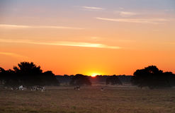 Sunrise landscape with grazing cows Royalty Free Stock Photo
